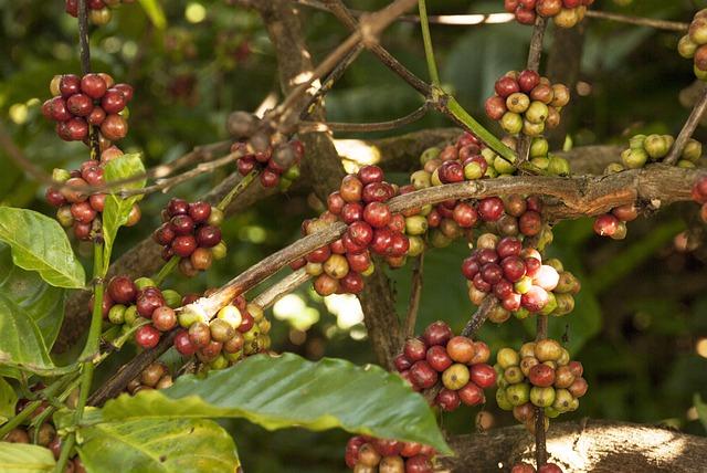 Is coffee fruit or vegetable